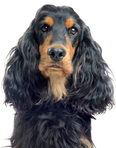 Der Cocker Spaniel.