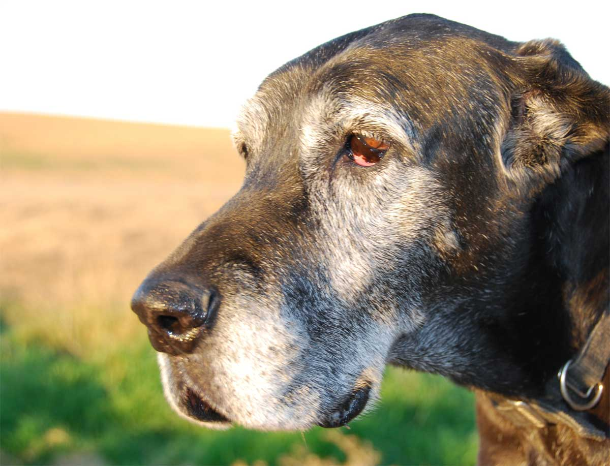 Alter Hund - Hundesenior - Graue Schnauze.