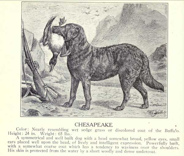 Chesapeake Bay Retriever aus dem Buch Dogs of all Nations - 1915